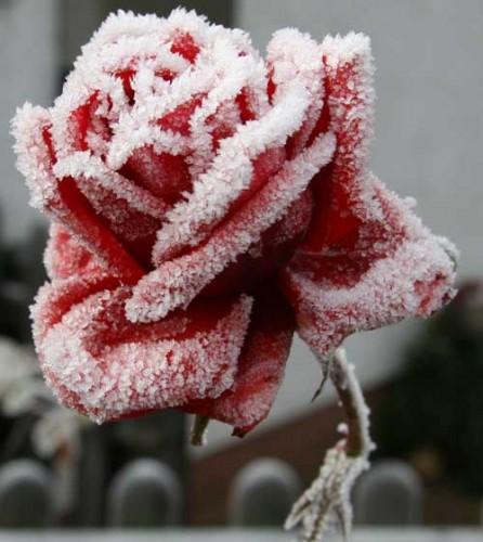 Poesia 39 rosa d 39 inverno 39 di sarren su efp fanfiction - Boy with rose wallpaper ...